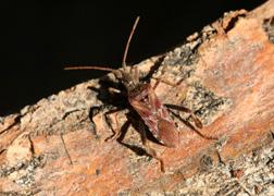 Devilbugs