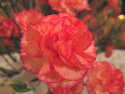 Carnationcolor